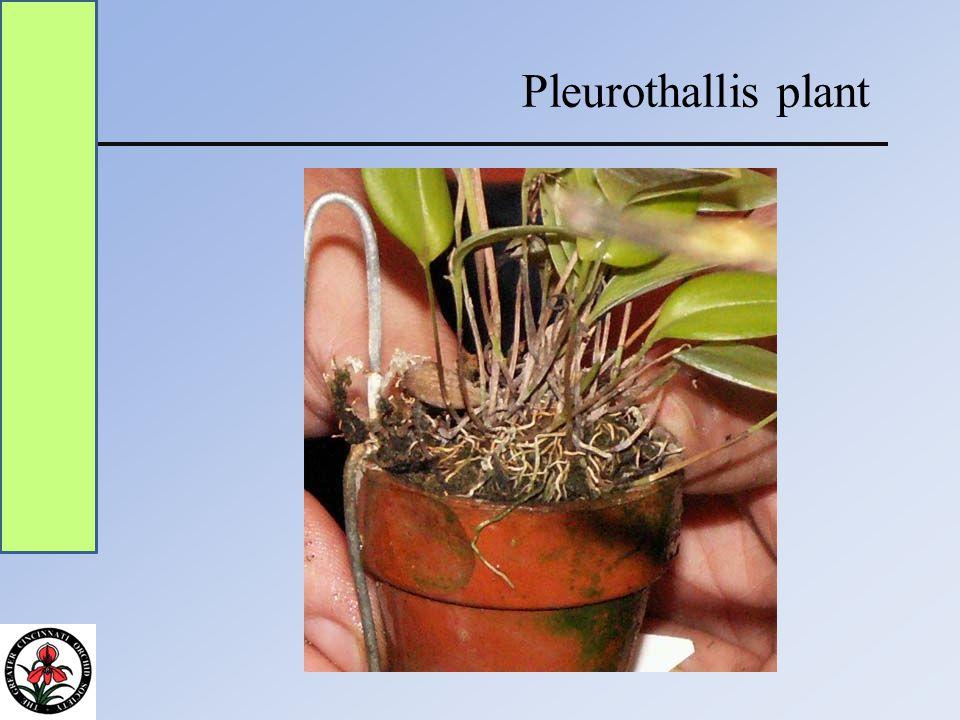 Pleurothallis plant