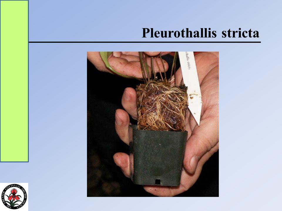 Pleurothallis stricta
