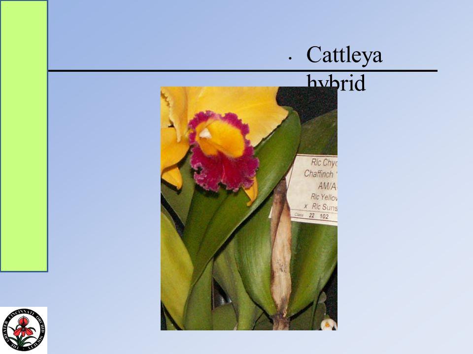 Cattleya intergeneric hybrid