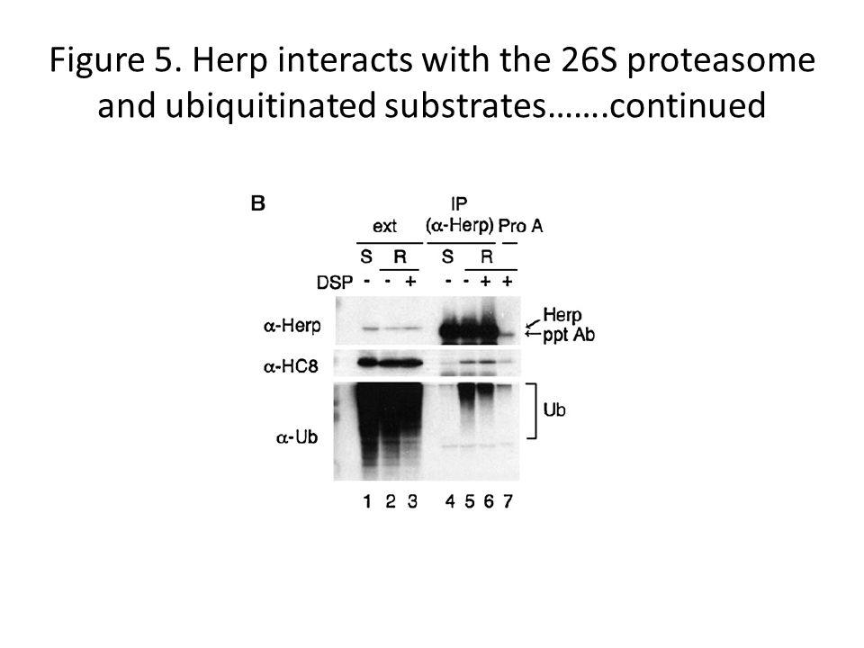 Figure 5. Herp interacts with the 26S proteasome and ubiquitinated substrates…….continued