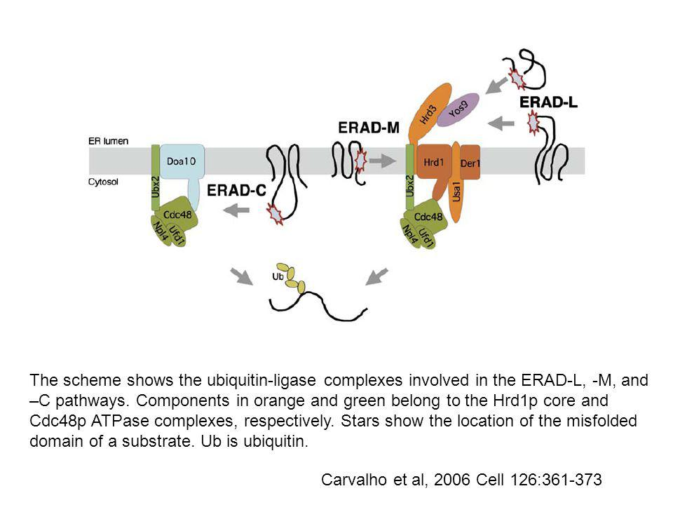 Carvalho et al, 2006 Cell 126:361-373 The scheme shows the ubiquitin-ligase complexes involved in the ERAD-L, -M, and –C pathways.
