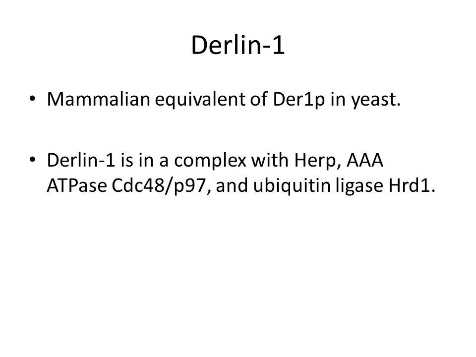 Derlin-1 Mammalian equivalent of Der1p in yeast. Derlin-1 is in a complex with Herp, AAA ATPase Cdc48/p97, and ubiquitin ligase Hrd1.