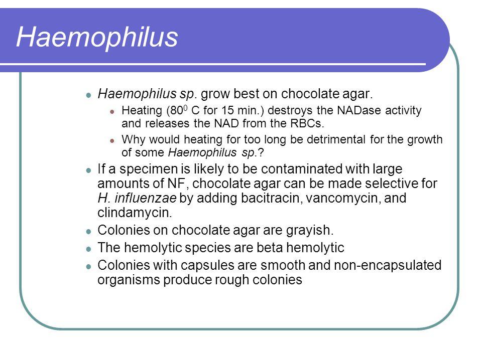 Haemophilus influenzae on Choc agar