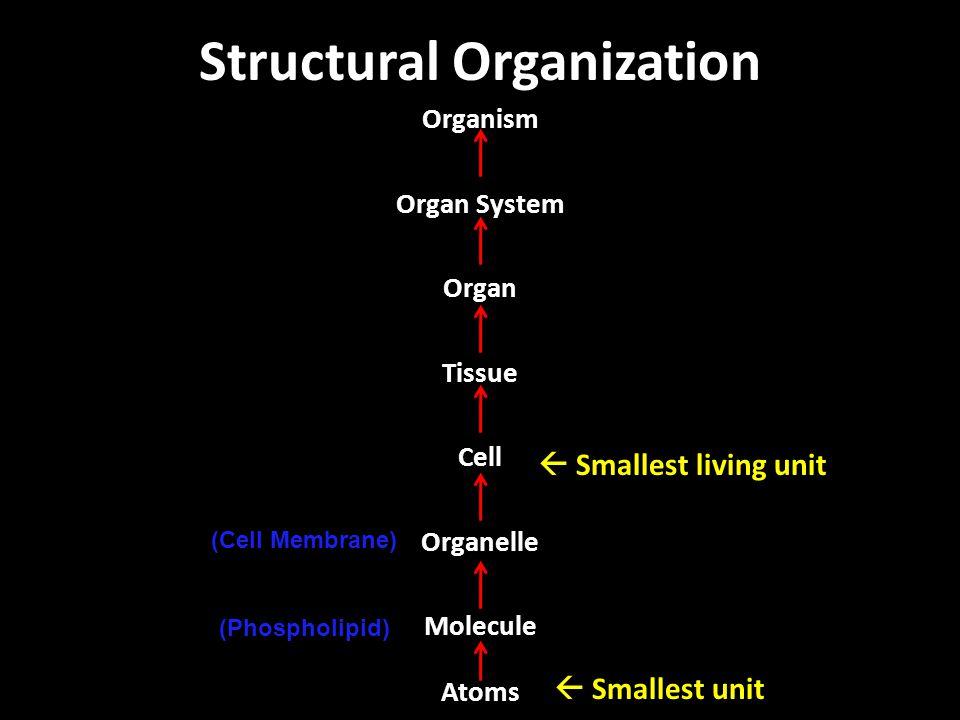 Structural Organization Organism Organ System Organ Tissue Cell Organelle Molecule Atoms  Smallest living unit  Smallest unit (Cell Membrane) (Phosp