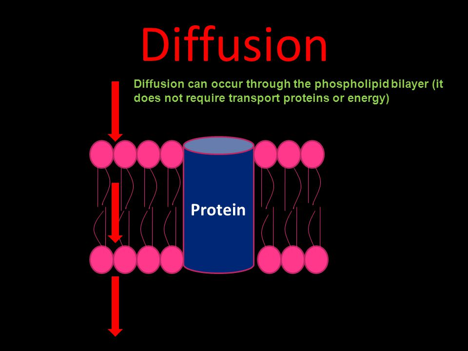 Diffusion Protein Diffusion can occur through the phospholipid bilayer (it does not require transport proteins or energy)