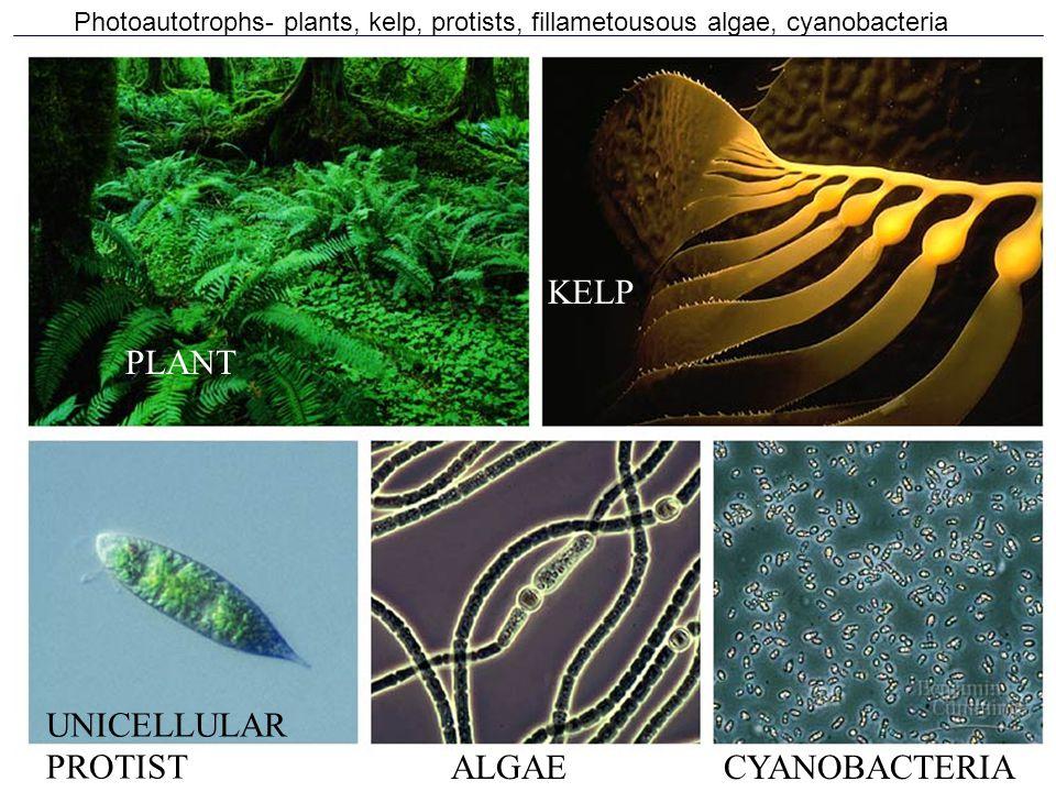 Photoautotrophs- plants, kelp, protists, fillametousous algae, cyanobacteria CYANOBACTERIAALGAE UNICELLULAR PROTIST PLANT KELP