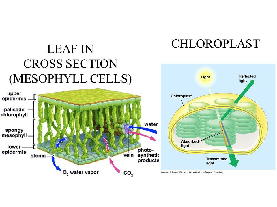 LEAF IN CROSS SECTION (MESOPHYLL CELLS) CHLOROPLAST