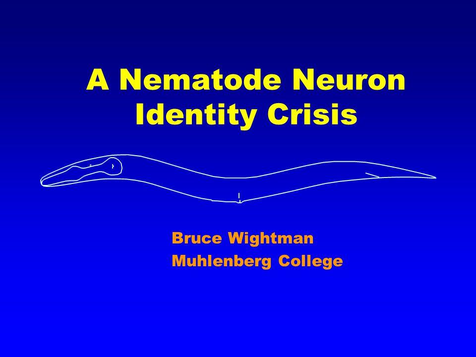 A Nematode Neuron Identity Crisis Bruce Wightman Muhlenberg College