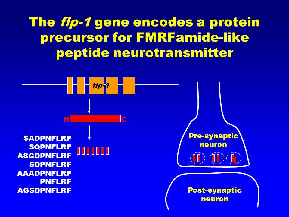 The flp-1 gene encodes a protein precursor for FMRFamide-like peptide neurotransmitter NC SADPNFLRF SQPNFLRF ASGDPNFLRF SDPNFLRF AAADPNFLRF PNFLRF AGSDPNFLRF Post-synaptic neuron Pre-synaptic neuron flp-1