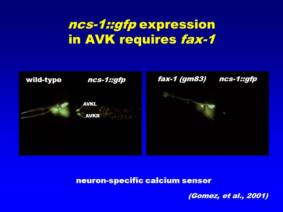 ncs-1::gfp expression in AVK requires fax-1 neuron-specific calcium sensor wild-type ncs-1::gfp fax-1 (gm83) ncs-1::gfp AVKL AVKR (Gomez, et al., 2001)