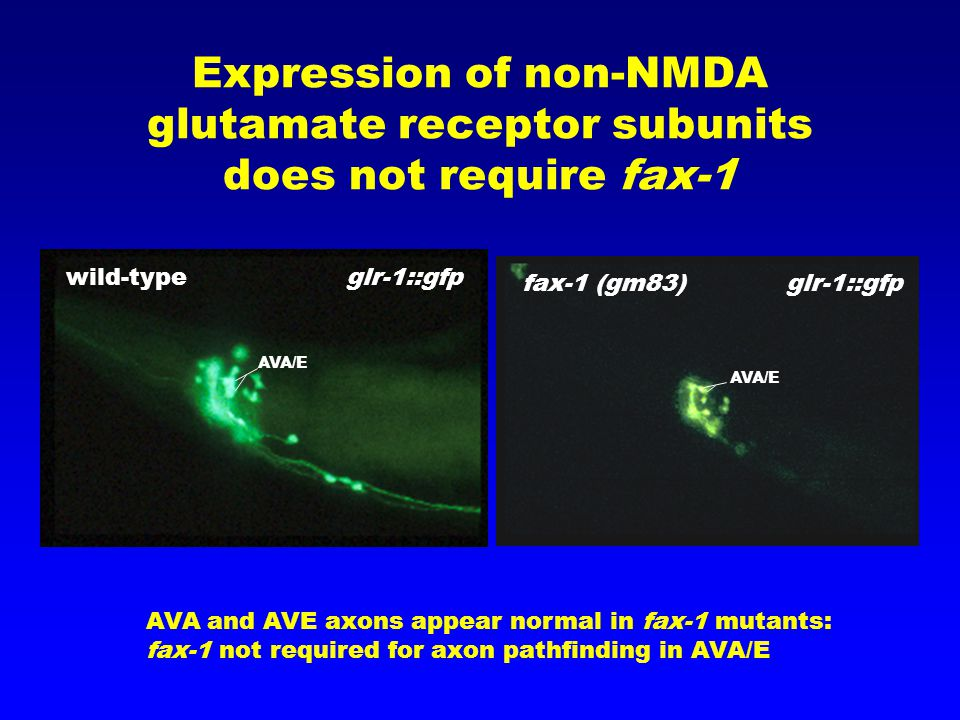 Expression of non-NMDA glutamate receptor subunits does not require fax-1 AVA and AVE axons appear normal in fax-1 mutants: fax-1 not required for axon pathfinding in AVA/E wild-type glr-1::gfp fax-1 (gm83) glr-1::gfp AVA/E