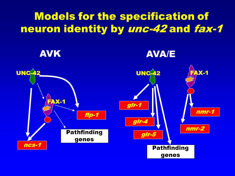 Models for the specification of neuron identity by unc-42 and fax-1 UNC-42 FAX-1 flp-1 Pathfinding genes ncs-1 AVK AVA/E UNC-42 FAX-1 Pathfinding genes glr-1 nmr-1 nmr-2 glr-4 glr-5