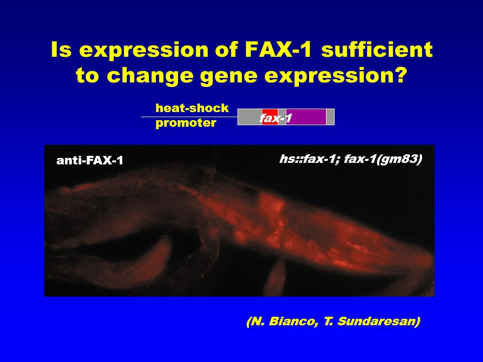 Is expression of FAX-1 sufficient to change gene expression.
