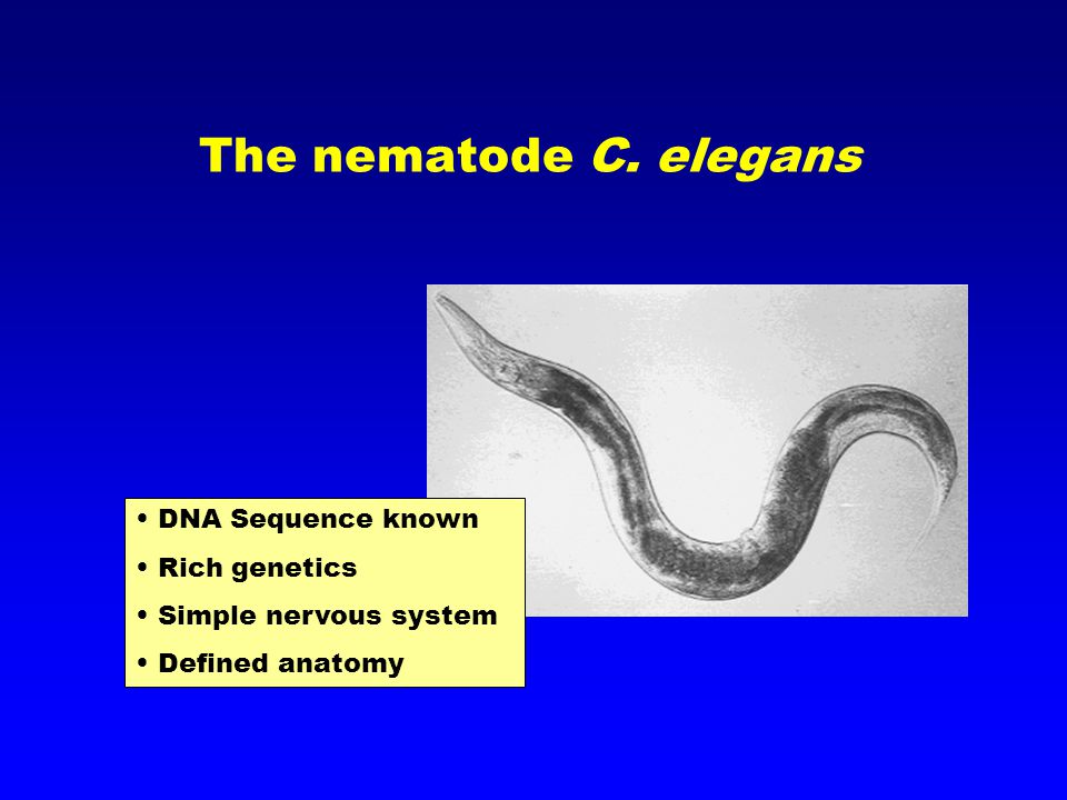 The nematode C. elegans DNA Sequence known Rich genetics Simple nervous system Defined anatomy