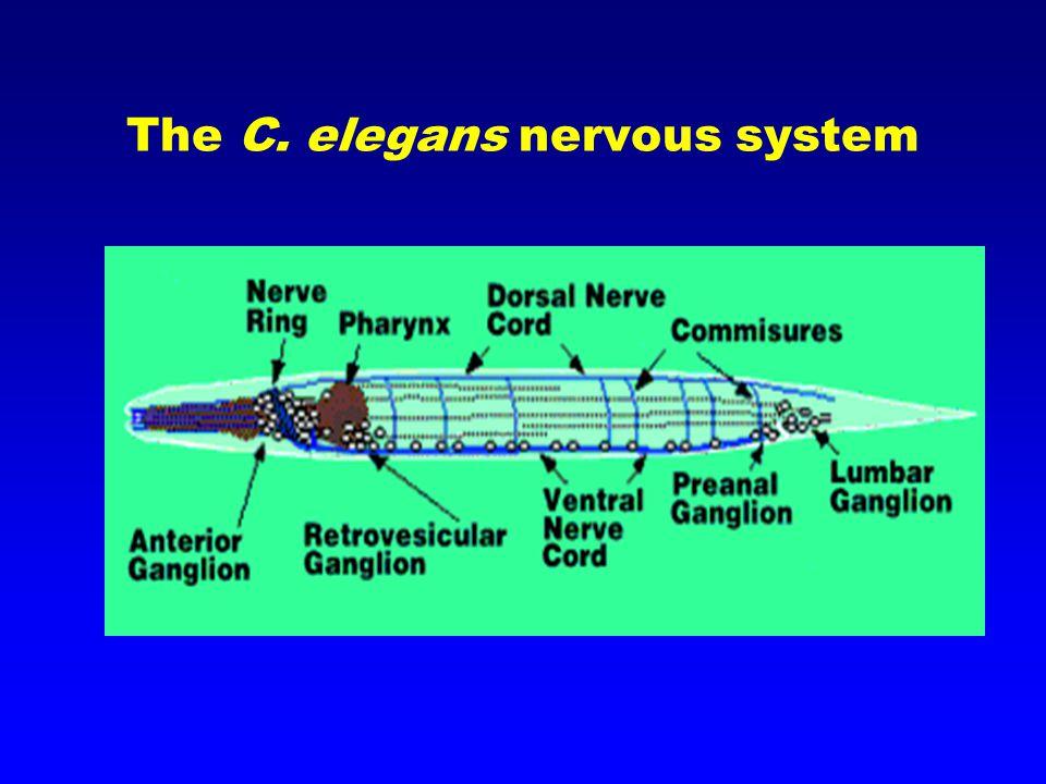 The C. elegans nervous system