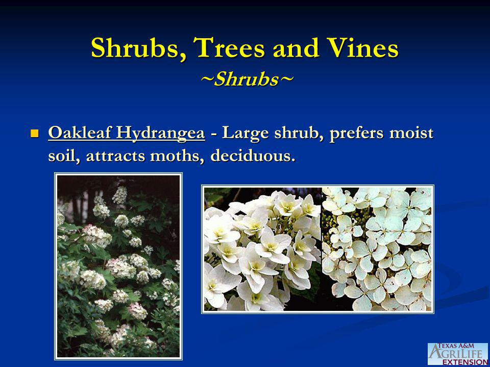 Shrubs, Trees and Vines ~Shrubs~ Oakleaf Hydrangea - Large shrub, prefers moist soil, attracts moths, deciduous.