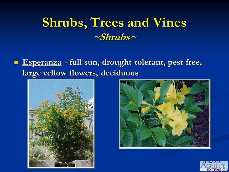 Shrubs, Trees and Vines ~Shrubs~ Esperanza - full sun, drought tolerant, pest free, large yellow flowers, deciduous Esperanza - full sun, drought tole
