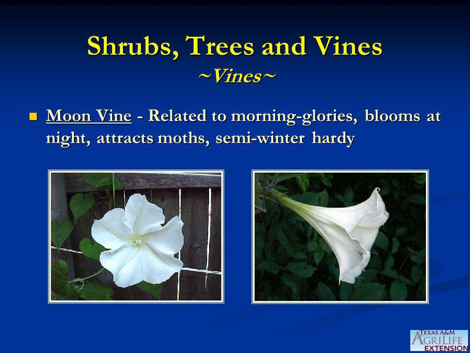 Shrubs, Trees and Vines ~Vines~ Moon Vine - Related to morning-glories, blooms at night, attracts moths, semi-winter hardy Moon Vine - Related to morning-glories, blooms at night, attracts moths, semi-winter hardy