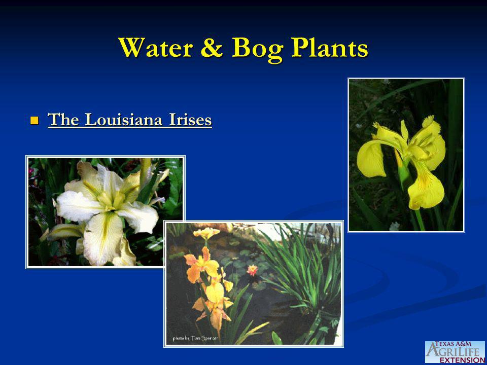 Water & Bog Plants The Louisiana Irises The Louisiana Irises