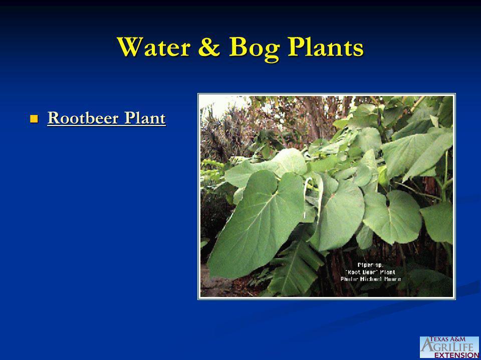 Water & Bog Plants Rootbeer Plant Rootbeer Plant