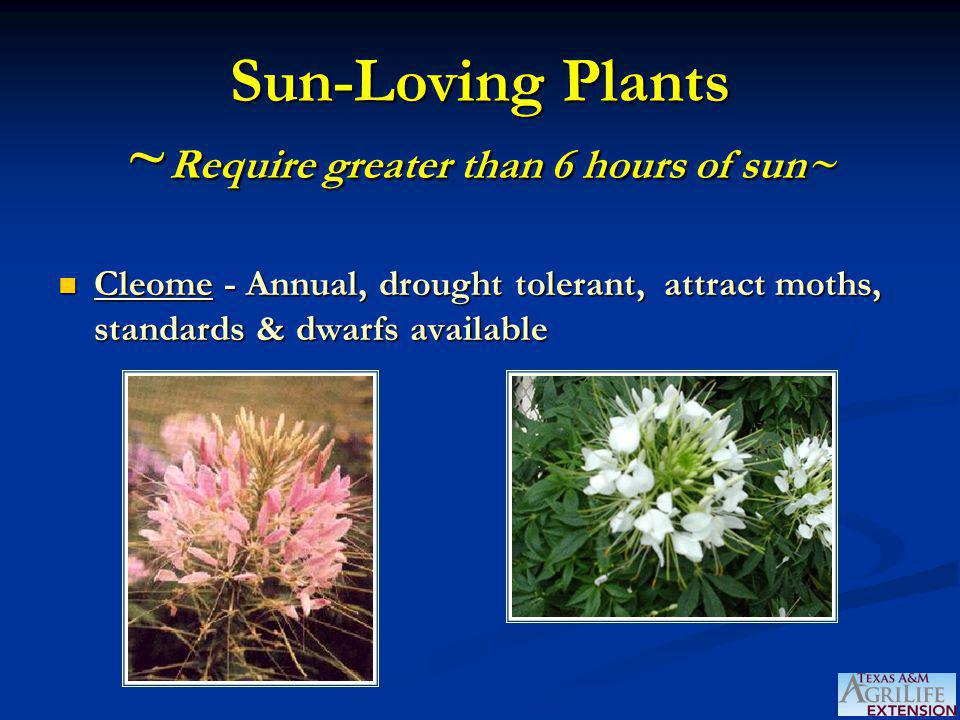 Sun-Loving Plants ~ Require greater than 6 hours of sun~ Cleome - Annual, drought tolerant, attract moths, standards & dwarfs available Cleome - Annual, drought tolerant, attract moths, standards & dwarfs available