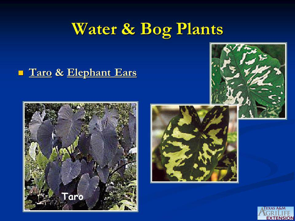 Water & Bog Plants Taro & Elephant Ears Taro & Elephant Ears Taro