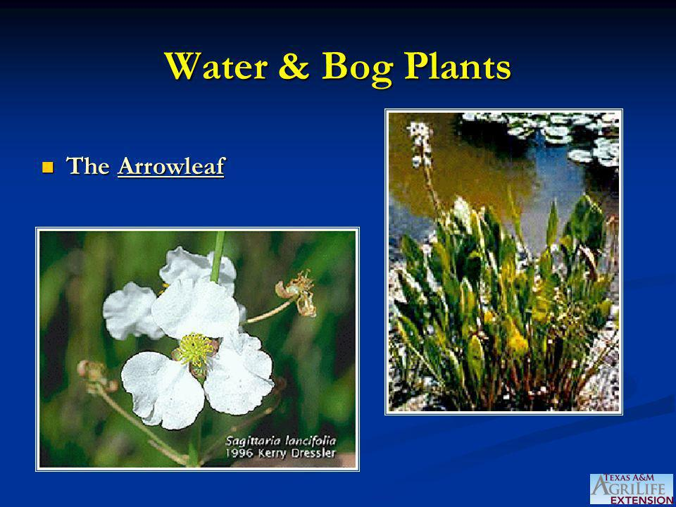 Water & Bog Plants The Arrowleaf The Arrowleaf