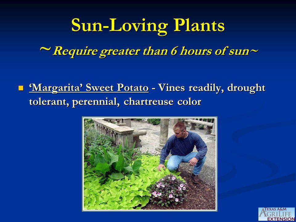 Sun-Loving Plants ~ Require greater than 6 hours of sun~ 'Margarita' Sweet Potato - Vines readily, drought tolerant, perennial, chartreuse color 'Margarita' Sweet Potato - Vines readily, drought tolerant, perennial, chartreuse color
