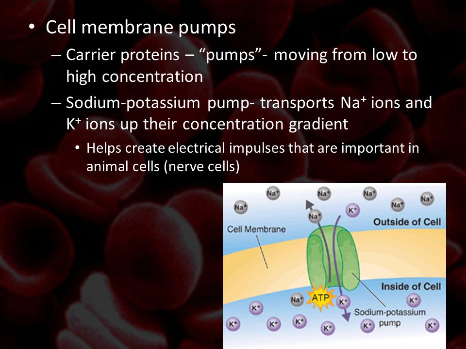 """Cell membrane pumps – Carrier proteins – """"pumps""""- moving from low to high concentration – Sodium-potassium pump- transports Na + ions and K + ions up"""