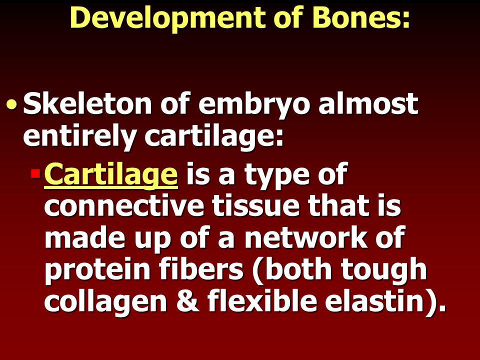 Development of Bones: Skeleton of embryo almost entirely cartilage:Skeleton of embryo almost entirely cartilage:  Cartilage is a type of connective t