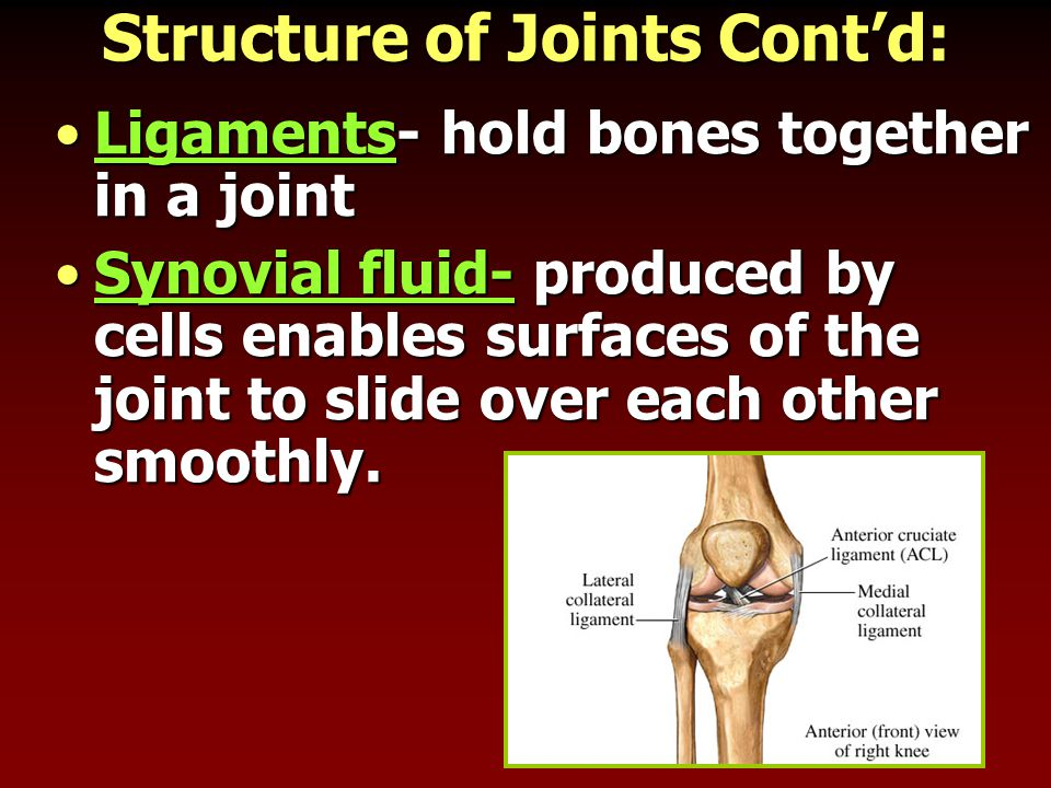 Structure of Joints Cont'd: Ligaments- hold bones together in a jointLigaments- hold bones together in a joint Synovial fluid- produced by cells enabl