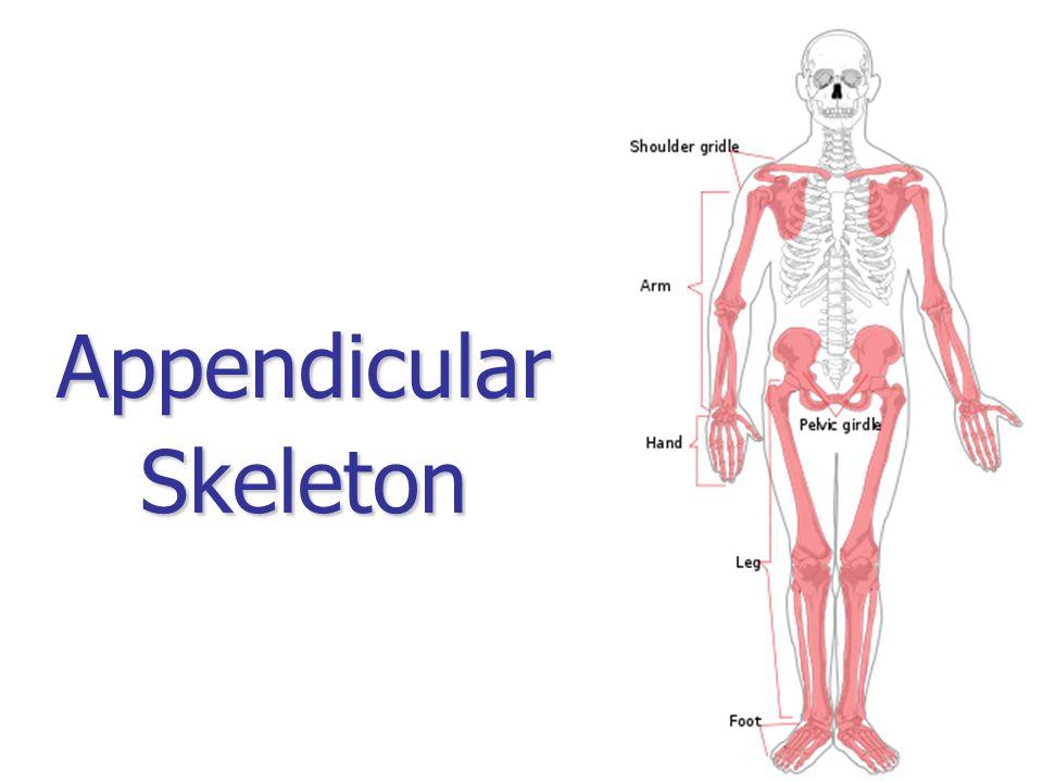 AppendicularSkeleton