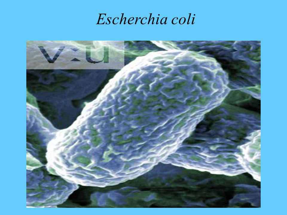Escherchia coli