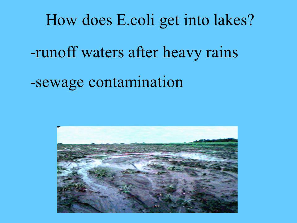 How does E.coli get into lakes? -runoff waters after heavy rains -sewage contamination