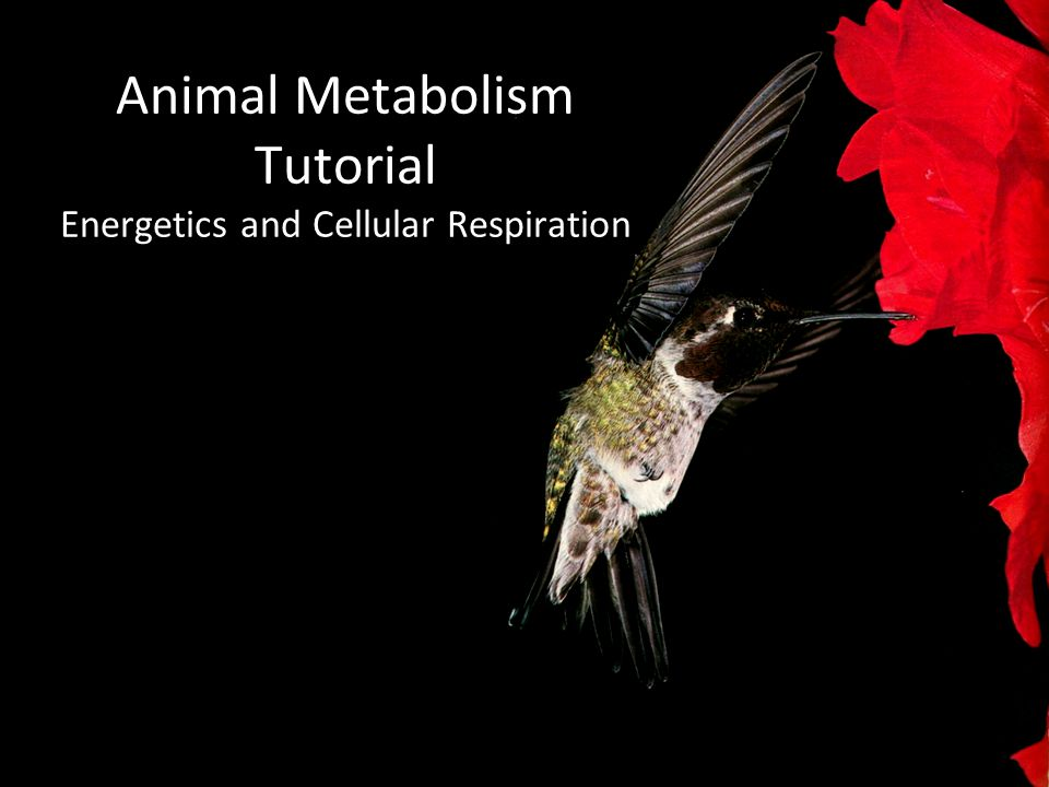 Animal Metabolism Tutorial Energetics and Cellular Respiration