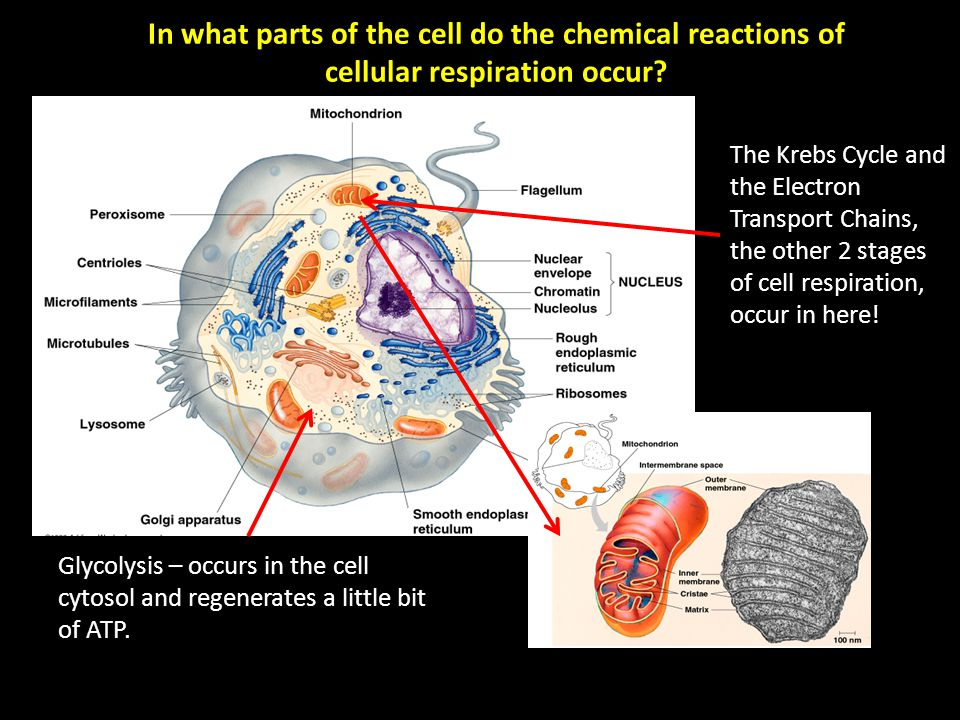 In what parts of the cell do the chemical reactions of cellular respiration occur.