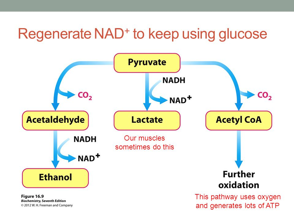Regenerate NAD + to keep using glucose This pathway uses oxygen and generates lots of ATP Our muscles sometimes do this