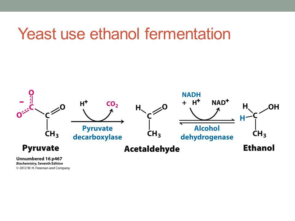Yeast use ethanol fermentation