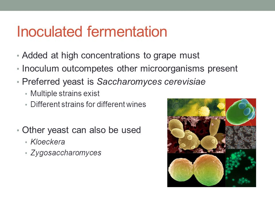 Inoculated fermentation Added at high concentrations to grape must Inoculum outcompetes other microorganisms present Preferred yeast is Saccharomyces cerevisiae Multiple strains exist Different strains for different wines Other yeast can also be used Kloeckera Zygosaccharomyces