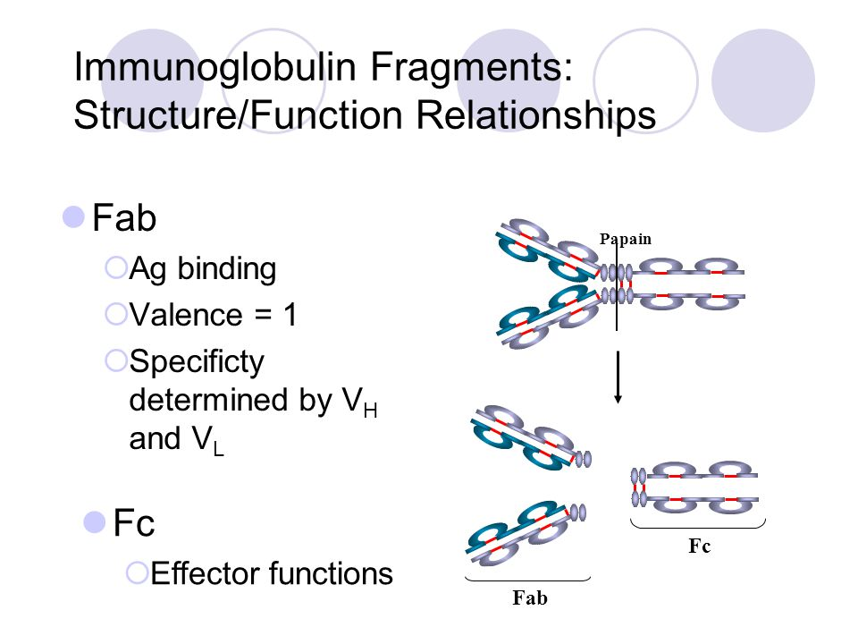 Immunoglobulin Fragments: Structure/Function Relationships Fab  Ag binding  Valence = 1  Specificty determined by V H and V L Papain Fc Fab Fc  Ef