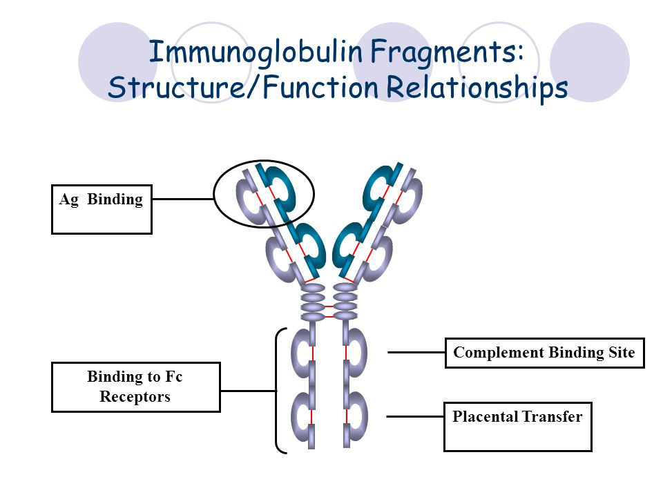 Immunoglobulin Fragments: Structure/Function Relationships Ag Binding Complement Binding Site Placental Transfer Binding to Fc Receptors