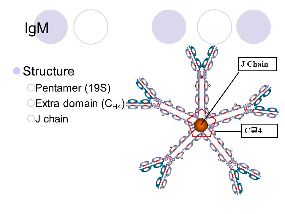 IgM Structure  Pentamer (19S)  Extra domain (C H4 )  J chain C4C4 J Chain