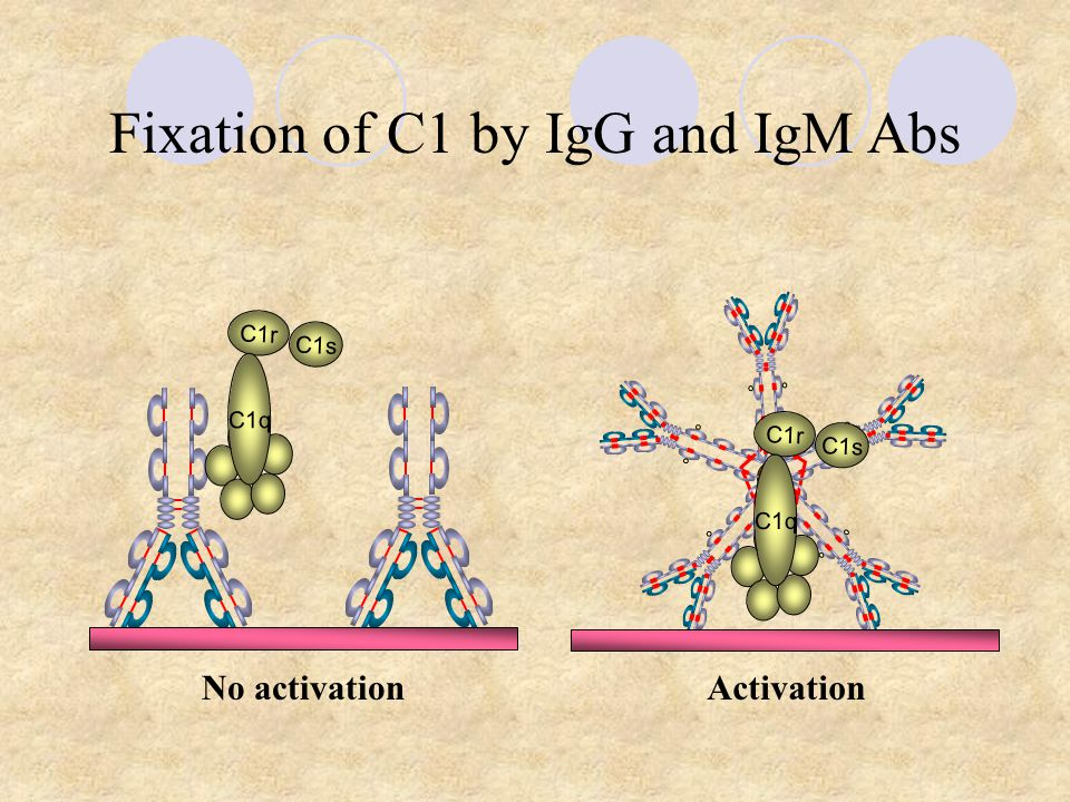 Fixation of C1 by IgG and IgM Abs C1r C1s C1q C1r C1s C1q No activationActivation