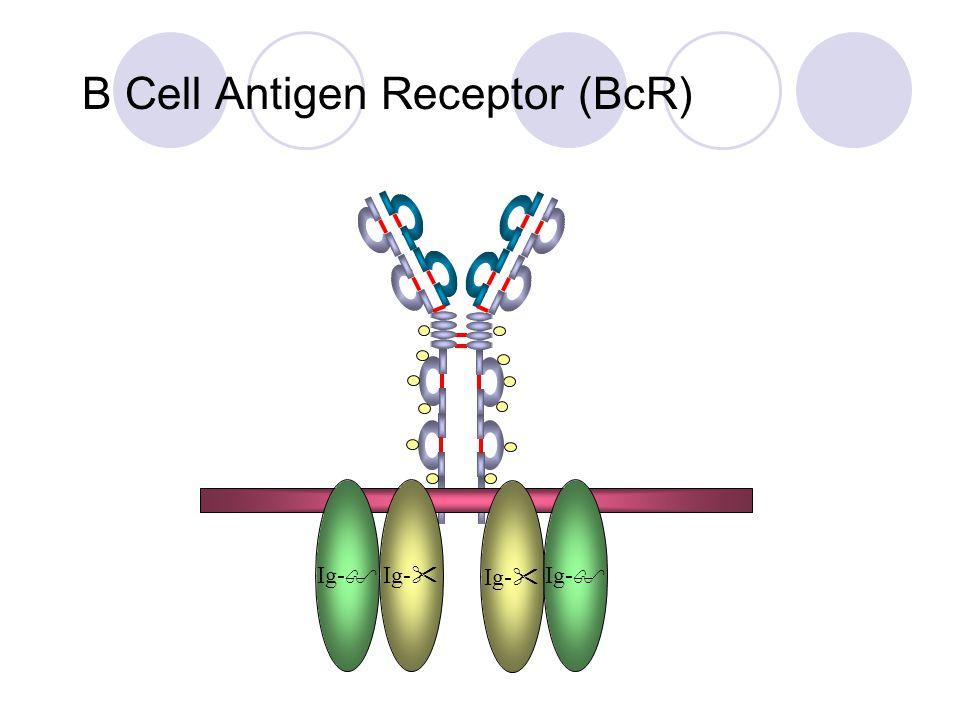 B Cell Antigen Receptor (BcR) Ig-  Ig- 