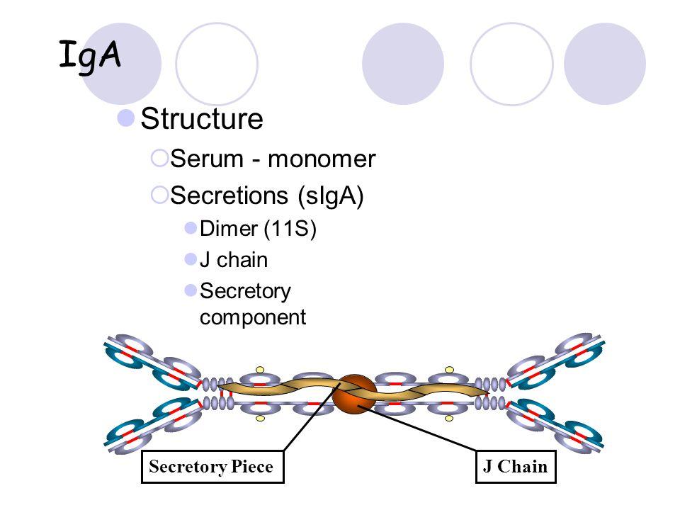 IgA Structure  Serum - monomer  Secretions (sIgA) Dimer (11S) J chain Secretory component J ChainSecretory Piece