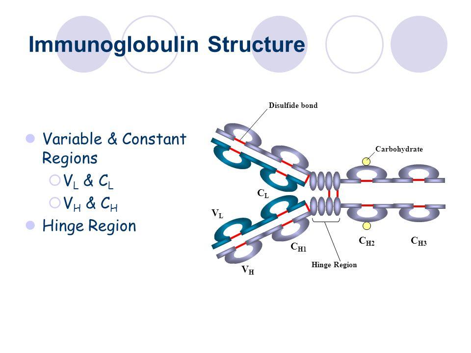 Immunoglobulin Structure Variable & Constant Regions  V L & C L  V H & C H Hinge Region C H1 VLVL CLCL VHVH C H2 C H3 Hinge Region Carbohydrate Disulfide bond