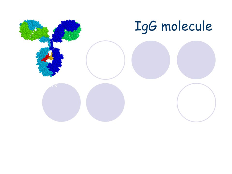 IgG Structure Properties  Major serum Ig  Major Ig in extravascular spaces  Placental transfer – Does not require Ag binding (  IgG2)  Fixes complement (  IgG4)  Binds to Fc receptors (  IgG2, IgG4) Phagocytes - opsonization K cells - ADCC