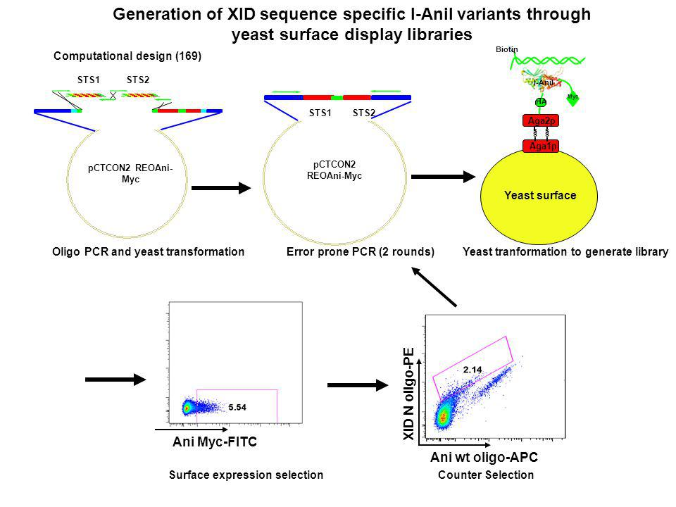 Ani wt oligo-APC XID N oligo-PE pCTCON2 REOAni-Myc STS1 STS2 Oligo PCR and yeast transformation Error prone PCR (2 rounds) Yeast tranformation to generate library pCTCON2 REOAni- Myc STS1 STS2 Computational design (169) Yeast surface Aga1p s s Aga2p I-AniI Myc HA Biotin s s Surface expression selection Counter Selection Ani Myc-FITC Generation of XID sequence specific I-Anil variants through yeast surface display libraries