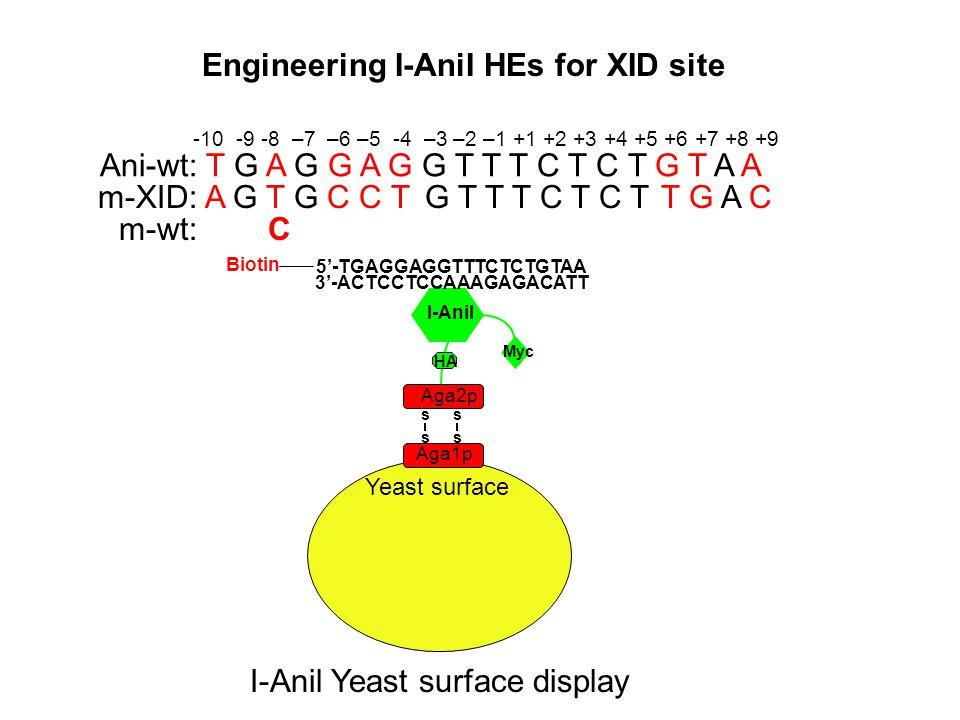 Yeast surface Aga1p s s s s Aga2p I-AniI Myc 3'-ACTCCTCCAAAGAGACATT 5'-TGAGGAGGTTTCTCTGTAA Biotin Ani-wt: T G A G G A G G T T T C T C T G T A A m-XID: A G T G C C T G T T T C T C T T G A C m-wt: C -10 -9 -8 –7 –6 –5 -4 –3 –2 –1 +1 +2 +3 +4 +5 +6 +7 +8 +9 Engineering I-AniI HEs for XID site I-Anil Yeast surface display HA