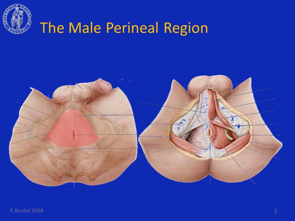 The Male Perineal Region 5 P. Brodal 2008